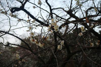 Blooming White Sakura at Kyoto Gyoen National Garden