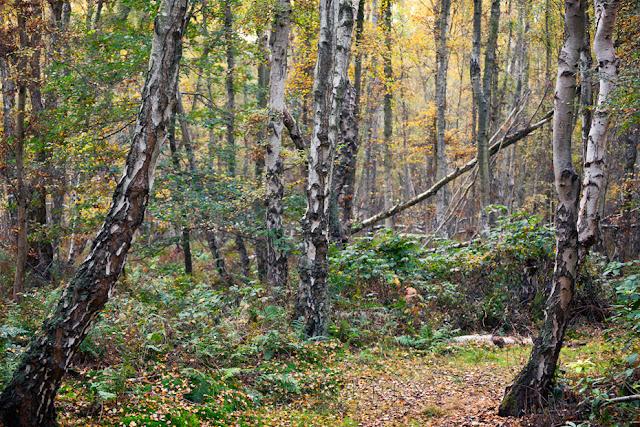 Cambridgeshire nature reserve of Holme Fen in the autumn season