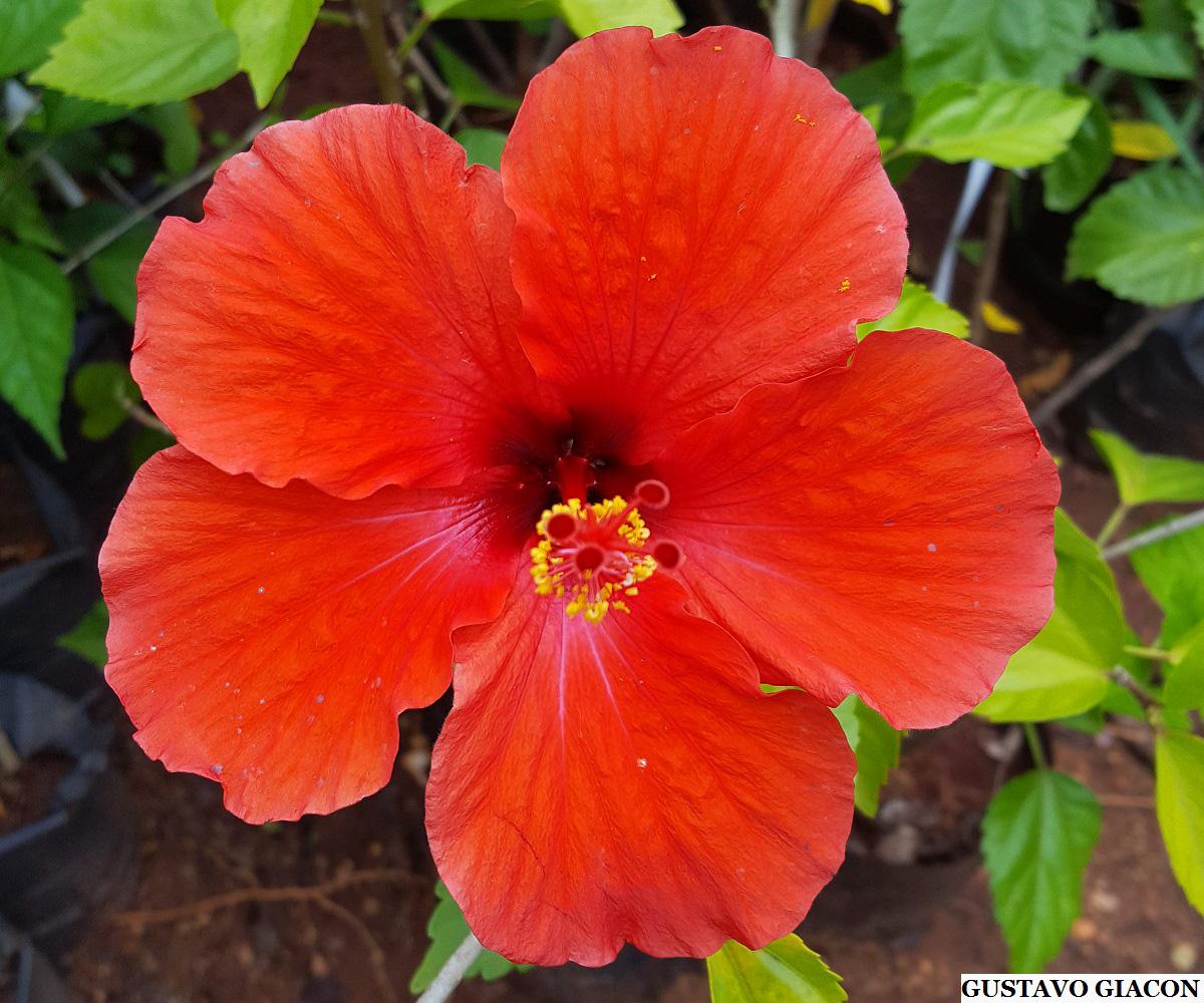 Viveiro ciprest plantas nativas e ex ticas hibisco for Hibiscus arbol