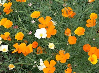 калифорнийский-мак-эшшольция