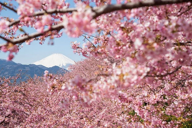 cherry blossom tree pictures