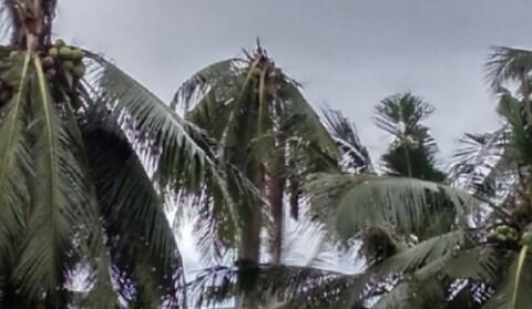 Astaga!!! Pohon Kelapa di Kabupaten Trenggalek Mulai Punah,Mengapa?