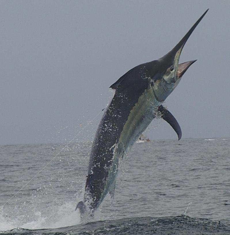 International Fishing News: AUSTRALIA: two greaters in one day