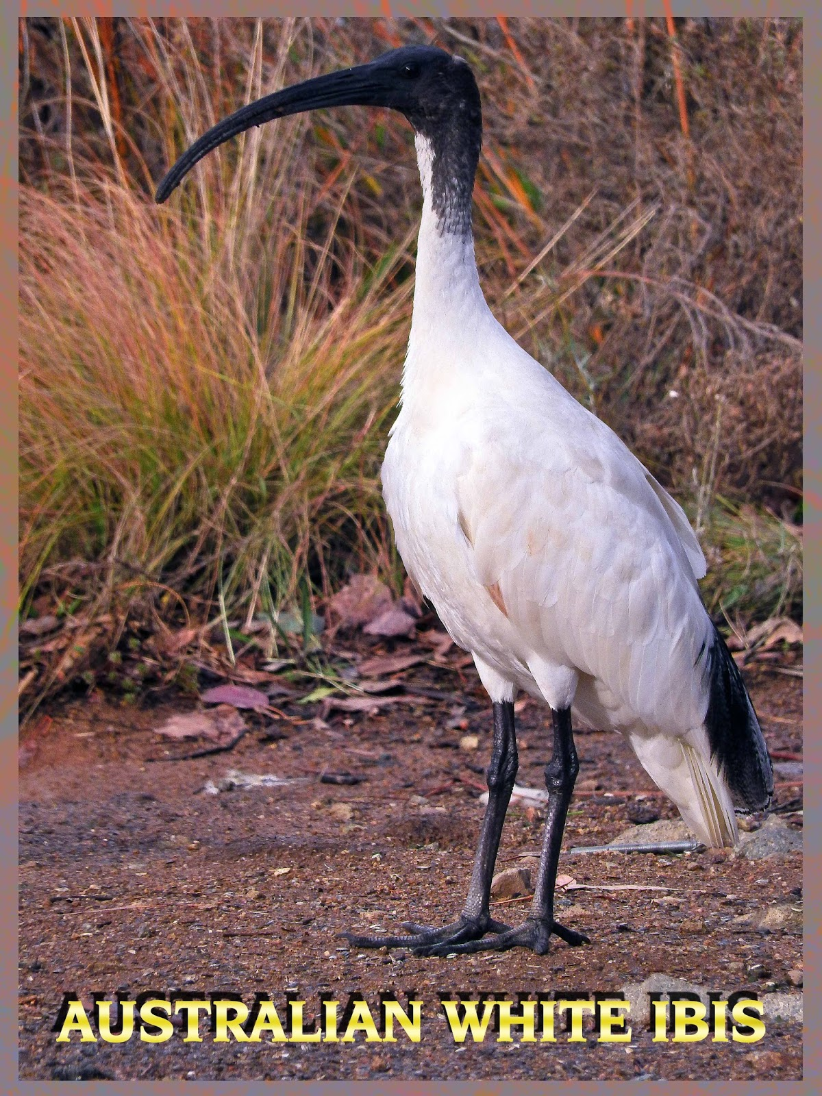 A light in the darkness sacred ibis totem animal ibis teaches sociability communication and working cooperatively in a group being around others and their diversity of new ideas and thoughts that bring buycottarizona Choice Image