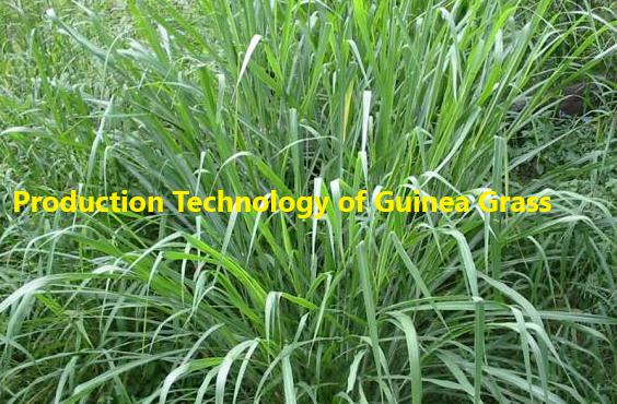How to grow Guinea Grass