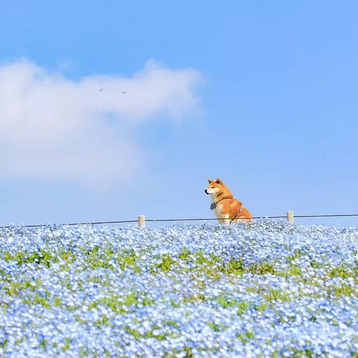 19 Adorable Pictures Of Hatchi, A Shiba Inu Dog That Is The Cutest Flower Boy In Japan