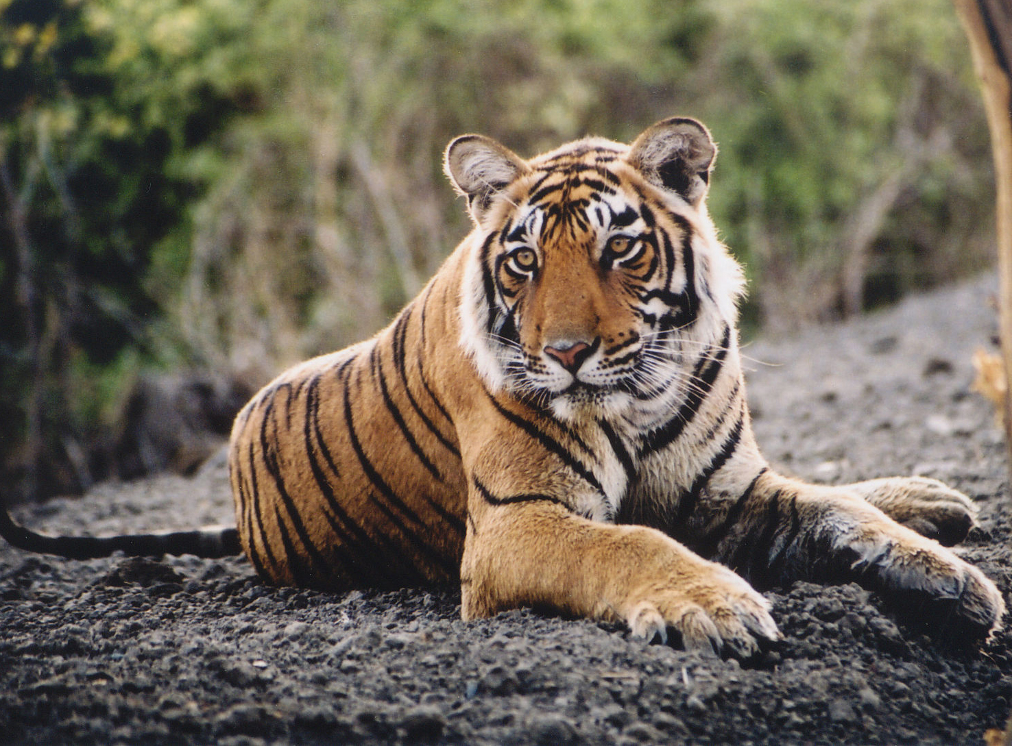 tiger - photo #26
