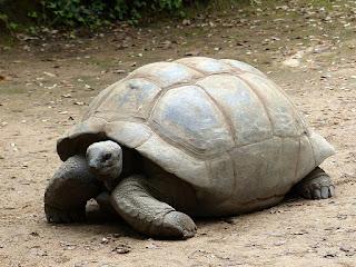 Tortue géante des Seychelles - Aldabrachelys gigantea - Dipsochelys dussumieri