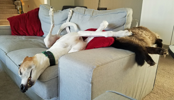 image of Dudley the Greyhound asleep on the couch, with his head hanging off and one giant paw resting on the back of Matilda the Fuzzy Sealpoint Cat, who is asleep on the arm of the couch