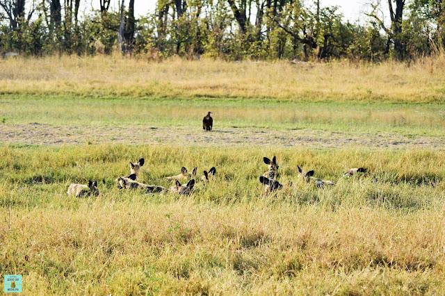 Wild dogs en la Reserva de Moremi de Botswana