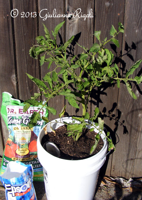 Mystery Tomato plant with Dr. Earth Fertilizer and Epsom Salt.