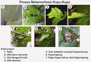 Penjelasan Metamorfosis Sempurna pada Kupu-kupu