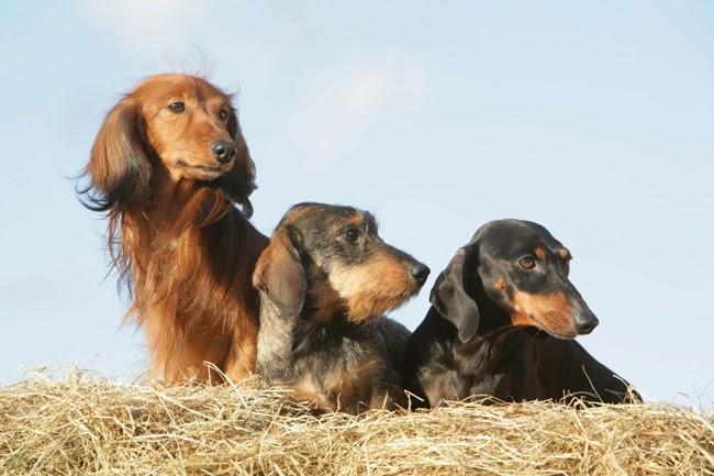 Hypotyreoidyzm, czyli niedoczynność tarczycy u psów