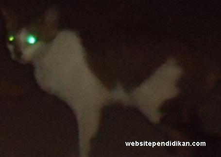 Fungsi Ciri Khusus Kucing- Mata Kucing Menyala Ketika Terkena Sinar