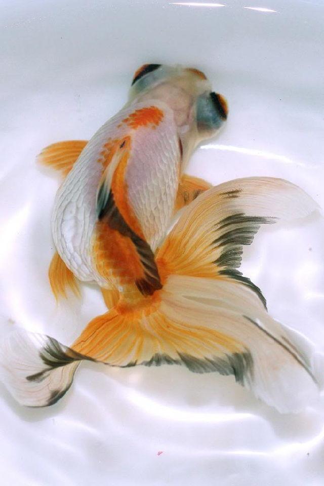 kenapa ikan mas koki mudah mati