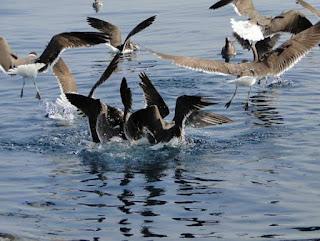 sooty gull (Larus hemprichii) feeding