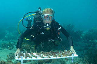 A Secore diver with a tray of Seeding Units that will be outplanted onto a reef in the waters of Curacao soon. (Credit: Secore International / Benjamin Mueller) Click to Enlarge.