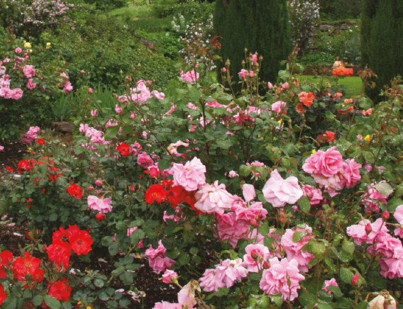 Roses, beautiful Roses, Beautiful Flowers, garden