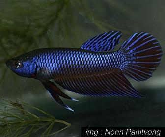Jenis Ikan Cupang aduan Betta Betta Smaragdina