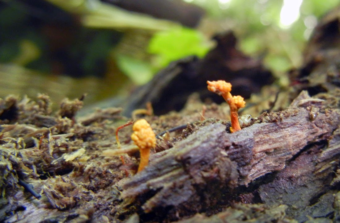 Ophiocordyceps variables growing from larva in rotting log