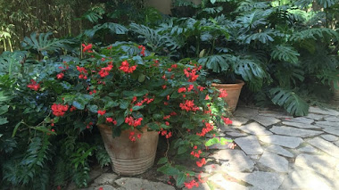 Plantas en maceta. Begonia Dragon Wing Red