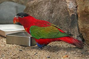 Dalam bahasa Inggris dikenal dengan nama  Mengenal Burung Kasturi Tengkuk-Ungu