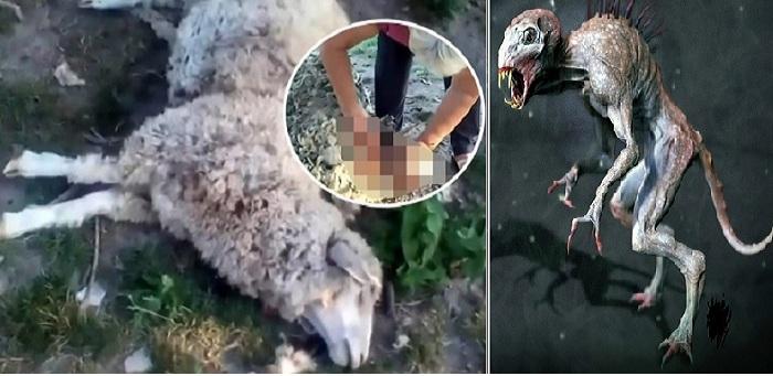 Στην Ουκρανία, κάτι σκότωσε οκτώ πρόβατα και ρούφηξε όλο το αίμα από αυτά !!!