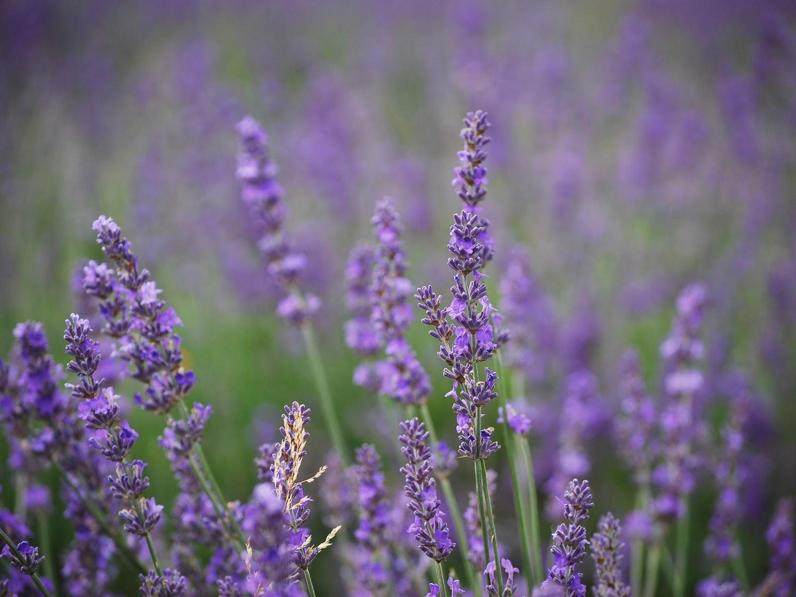 Lavender Fields   Weekend Adventuring - Very Much So
