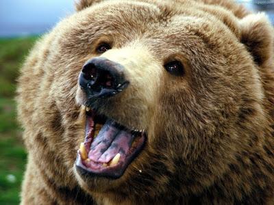 bears normal resolution hd desktop background wallpaper 6