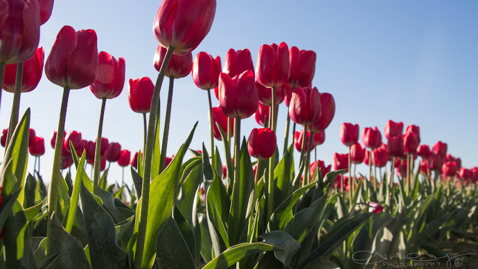 Wallpaper: Red Natural Tulips