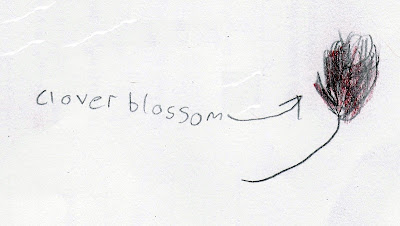 A drawing of a clover blossom from a nature notebook