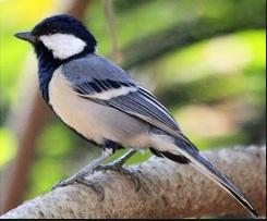 Cara merawat Burung Gelatik Wingko