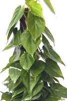Air purifier Heartleaf philodendron Philodendron scandens oxycardium