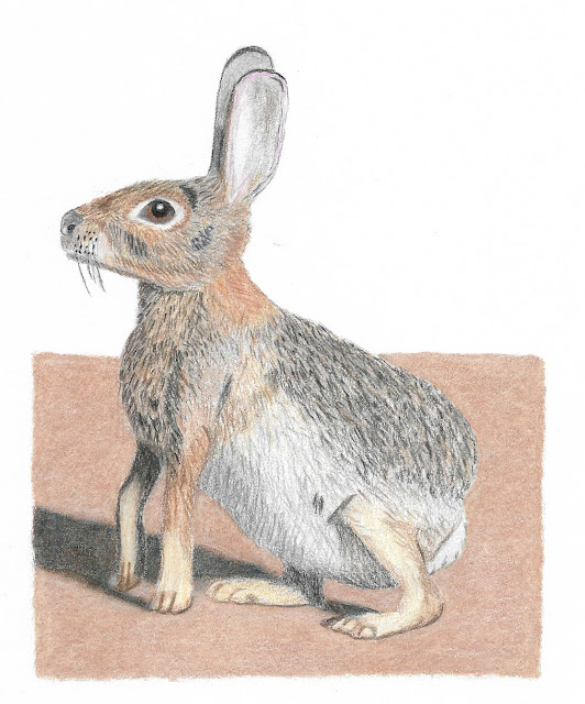 Colored pencil: Desert Cottontail