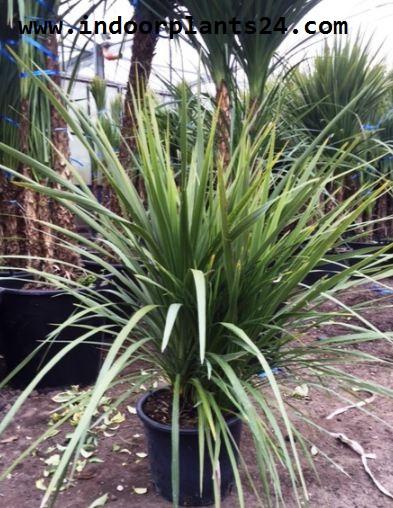 CORDYLINE AUSTRALIS plant picture