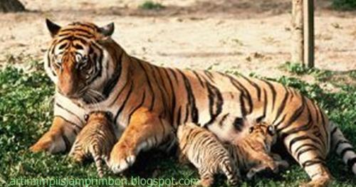 15 Arti Mimpi Melihat Orang Minum Susu Harimau Menurut ...