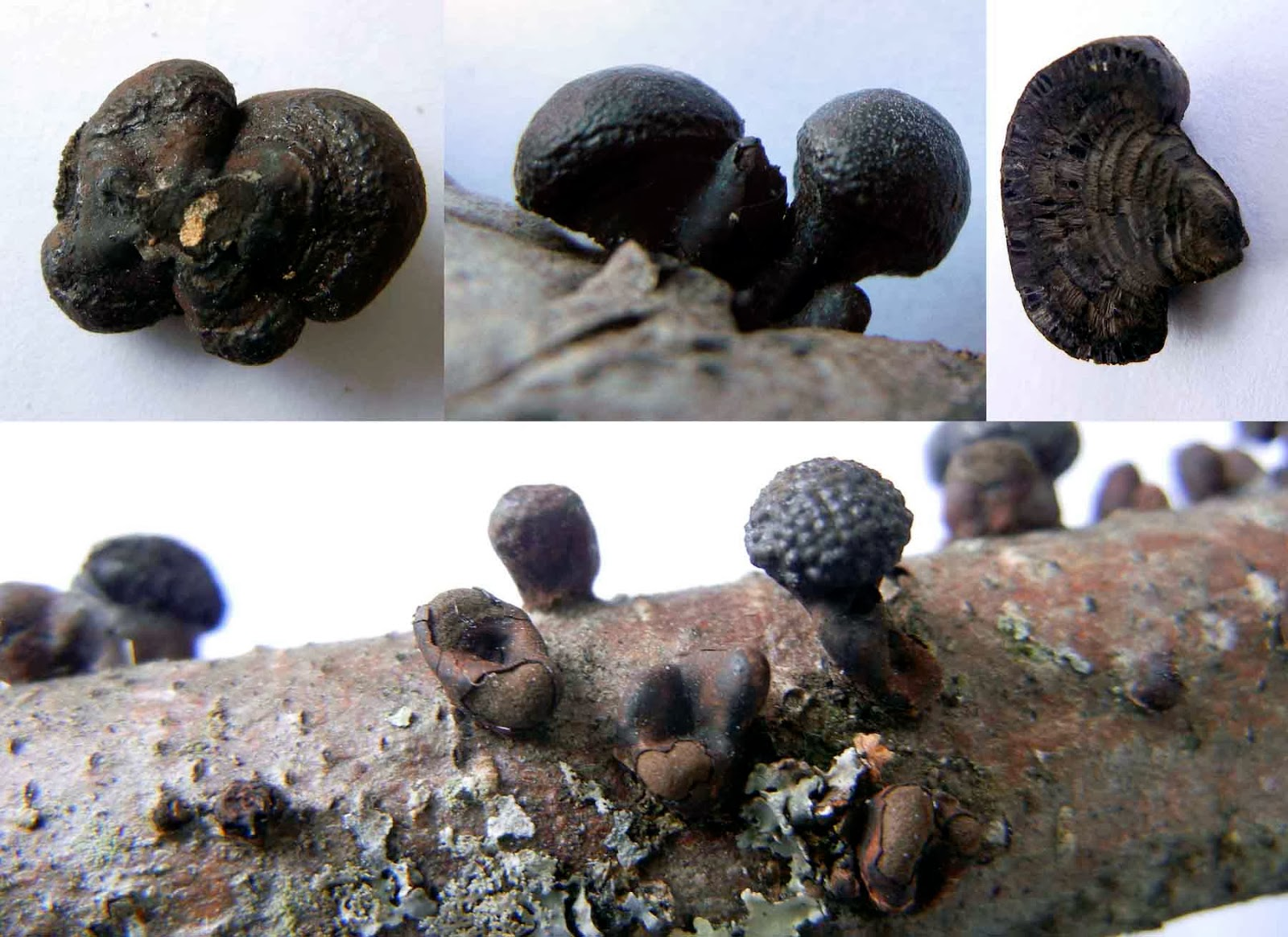Close-up views of stalked Daldinia