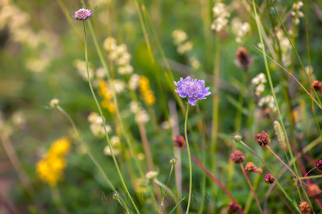 Field scabious and wildflowers at the nature reserve of Barnack Hills & Holes