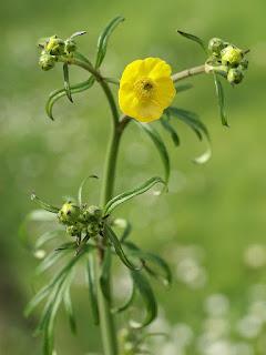 Renoncule âcre - Bouton d'or - Ranunculus acris