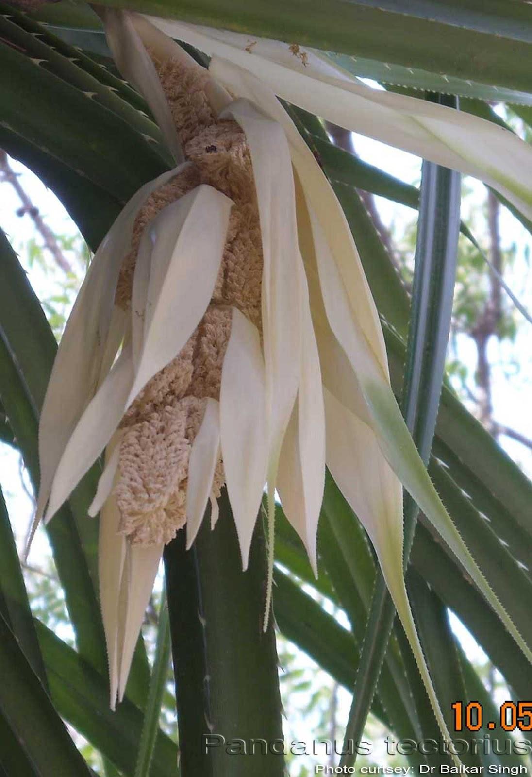 Medicinal Plants: Pandanus tectorius, Mogali, Kewda, Tazhai