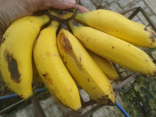 pisang uli
