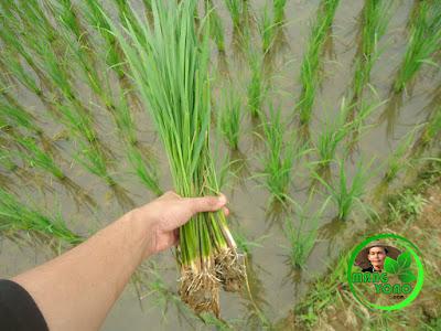 Akar tanaman padi sudah bersih