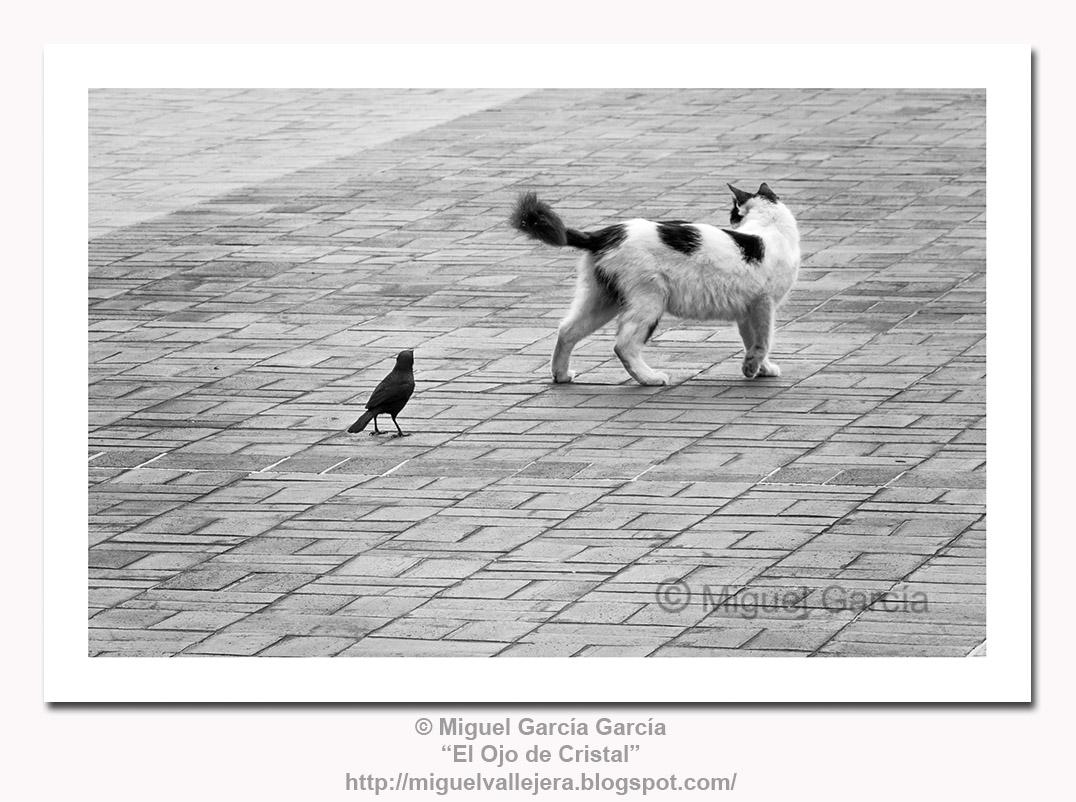 Tordo Negro Fino, Negro o Chivillo, atacando a un gato.