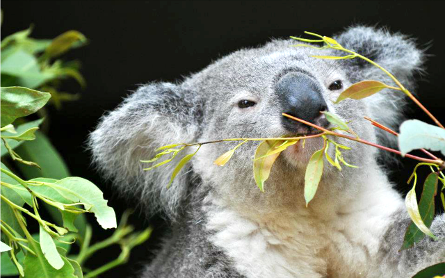 My Top 5 Australian Bucket List Experiences Lone Pine Koala Sanctuary