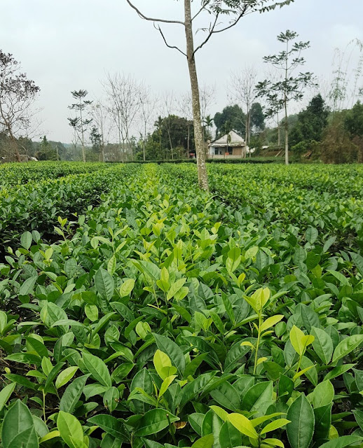 Tea harvest season in Yen Bai 1