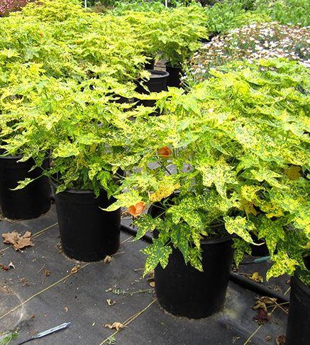 Abutilon Pictum Thompsonii Malvaceae Plants Care Benefits Indoor