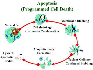 sel mati terancang