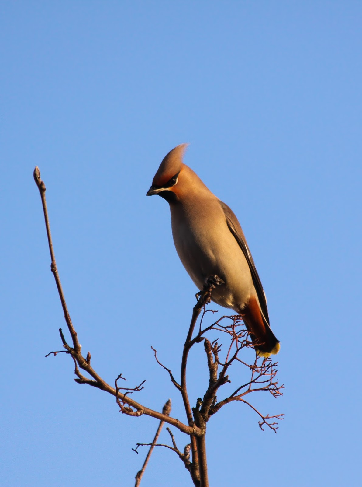 Waxwing - Northwich, Cheshire