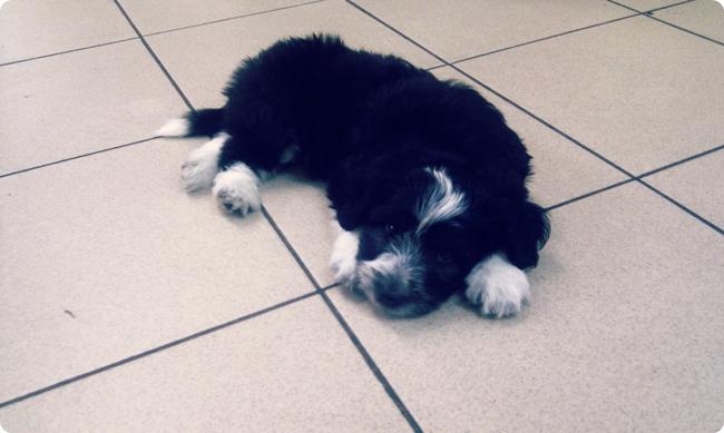 small havanese puppy