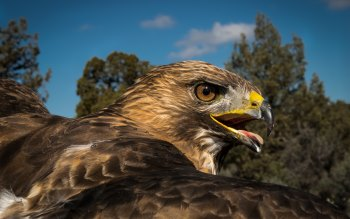 Wallpaper: Red-tailed Hawk Portrait